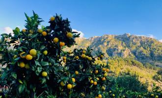 Orangenbaum Patenschaft Geschenkidee Mallorca