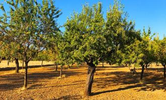 Mandelbaum Patenschaft Mallorca Geschenk