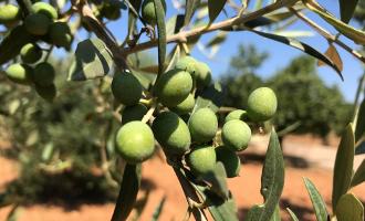 Olivenbaum Patenschaft Geschenk