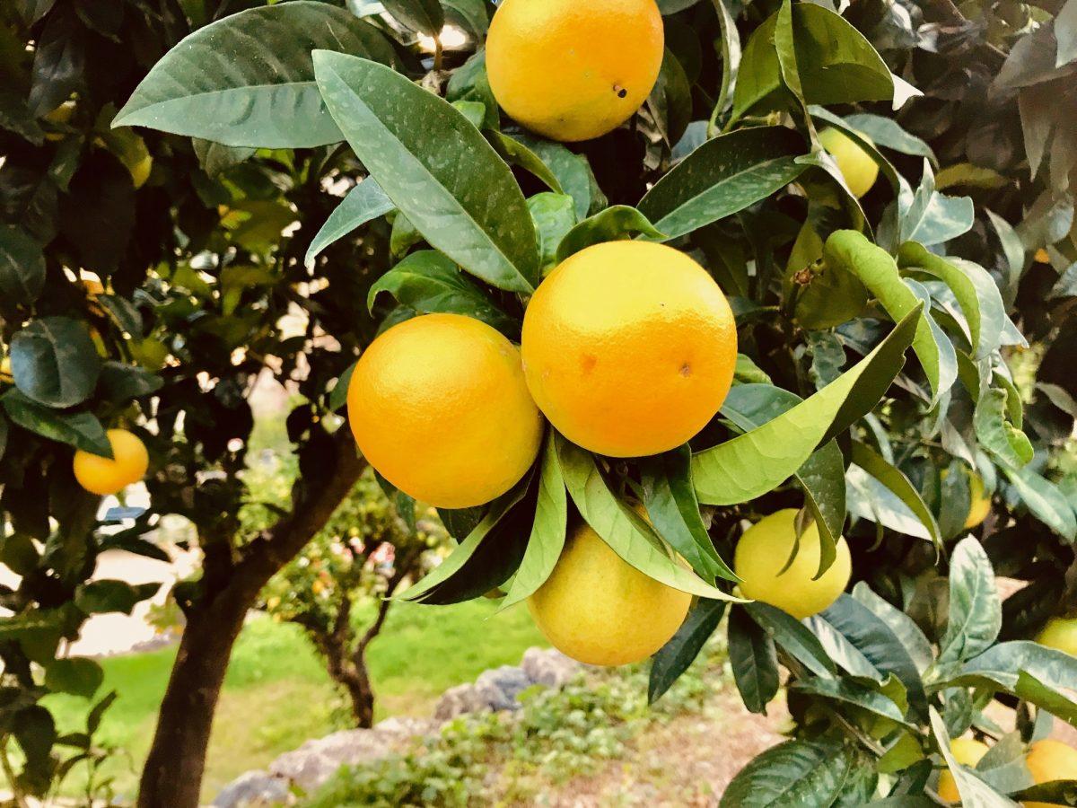 orangenbaum patenschaft bio
